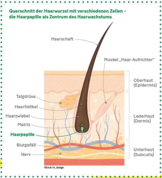Grafik: Querschnitt der Haarwurzel mit verschiedenen Zellen –  die Haarpapille als Zentrum des Haarwachstums
