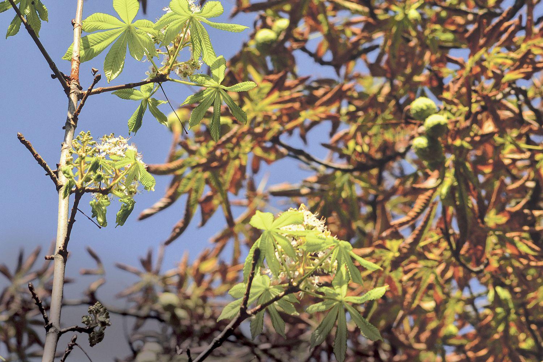 Detail des Laubwerks eines Kastanienbaums